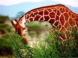 жираф и акация