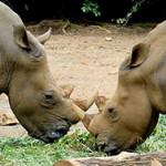 Чем питается носорог?