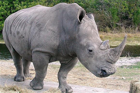 носорог в дикой среде