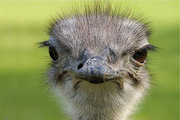 морда страуса