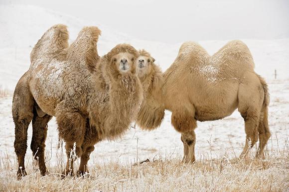зима и верблюды