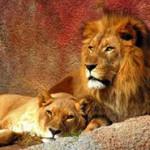 Что едят львы?