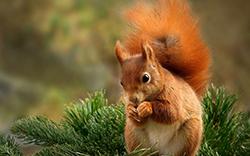 белка орешки грызет