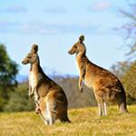 Что едят кенгуру?