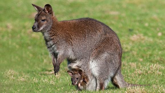 мама кенгуру