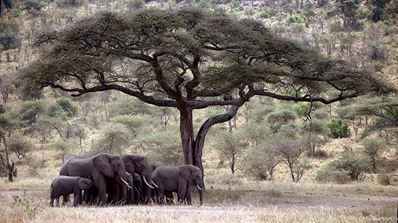слоны на прогулке