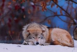 скучающий волк