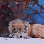Что ест волк?