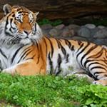 Чем питается тигр?