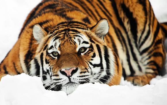 грустный тигр
