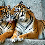 Где живут тигры?