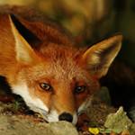 Чем питается лиса в дикой природе?