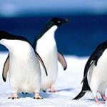 Сколько живут пингвины?