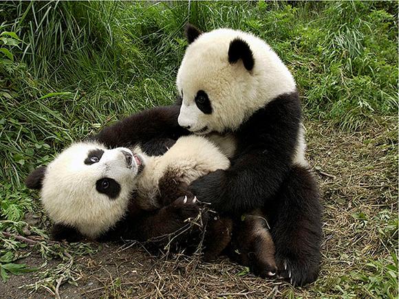 Детеныши панд