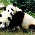 Что едят панды?