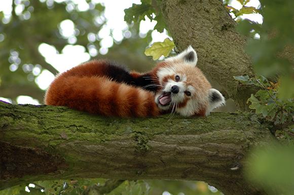 Красная панда на ветке
