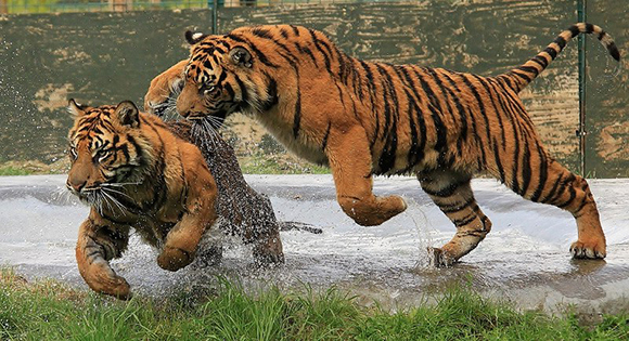 тигриный бой