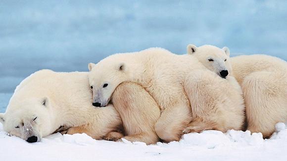 медведица с малышами