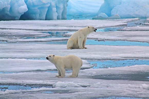 белые медведи плывут на льдине