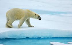 белый мишка на льду