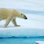 Где живет и чем питается белый медведь