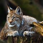 Рысь. Полная характеристика животного