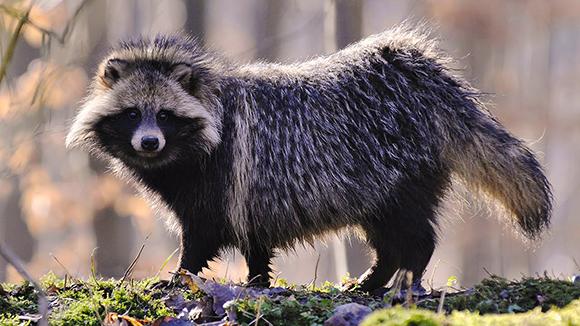 енотовидная собака в лесу