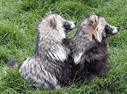 пара енотовидных собак