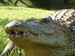 крокодил фото