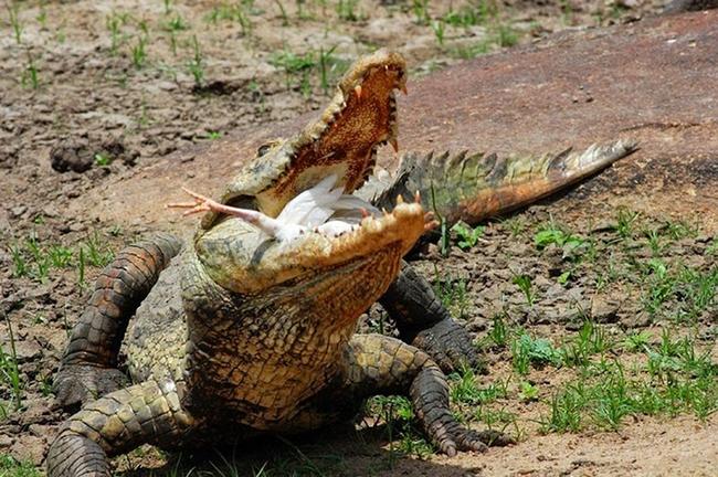 крокодил съел курицу фото