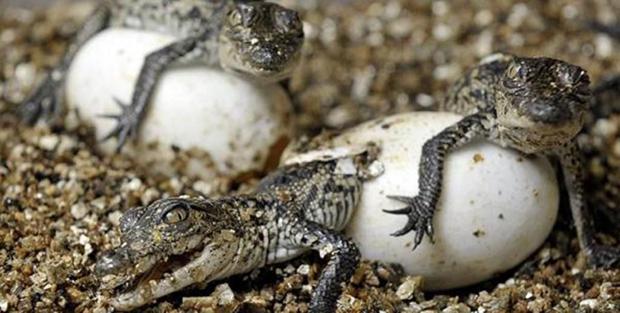появление крокодилов
