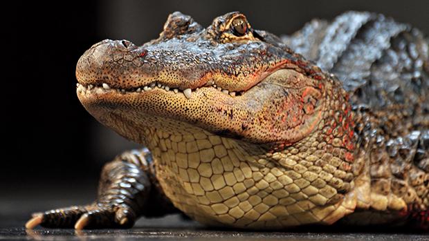 ползущий крокодил