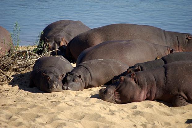 бегемоты греются на солнышке
