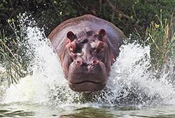 бегущий по воде гиппопотам