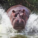 Интересные факты о бегемотах