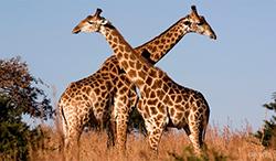 жирафы в саванне фото