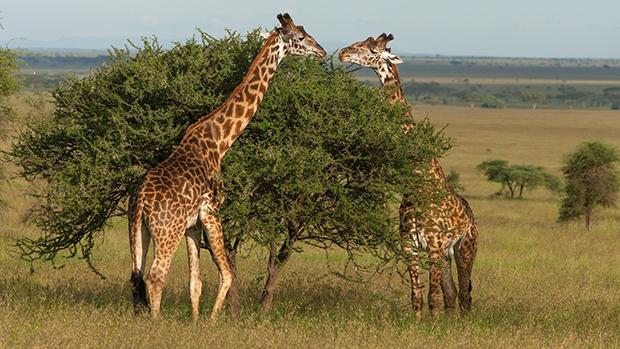 жирафы объедают акацию