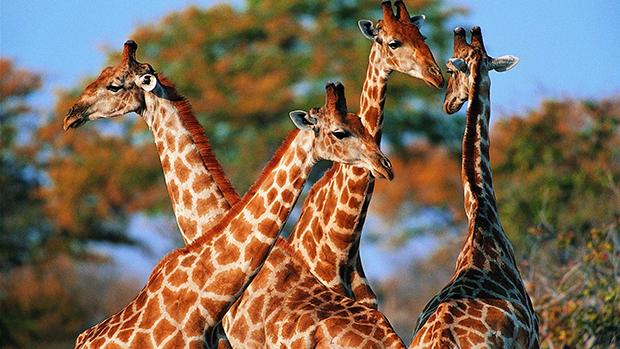 стадо жираф фото