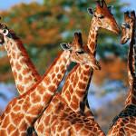 Где живут жирафы?
