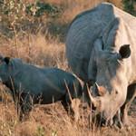 Где живет носорог?
