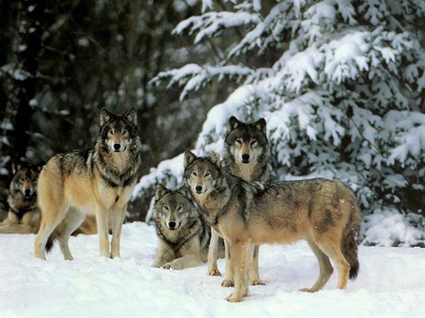 волчья стая фото