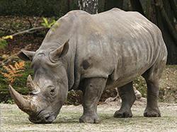 носорог в зоопарке фото