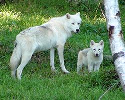 волчица с волком