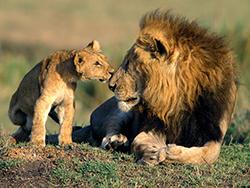 львенок со своим отцом