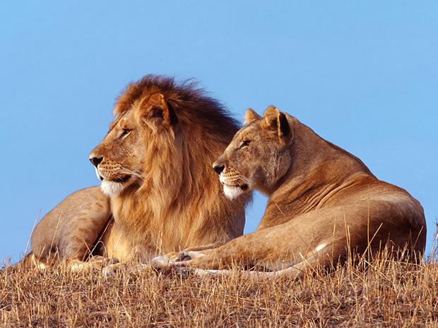 львица со львом