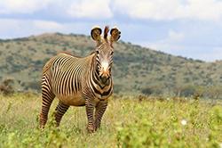 зебра на пастбище