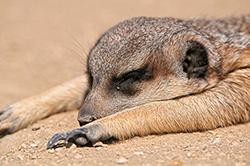 спящий сурикат