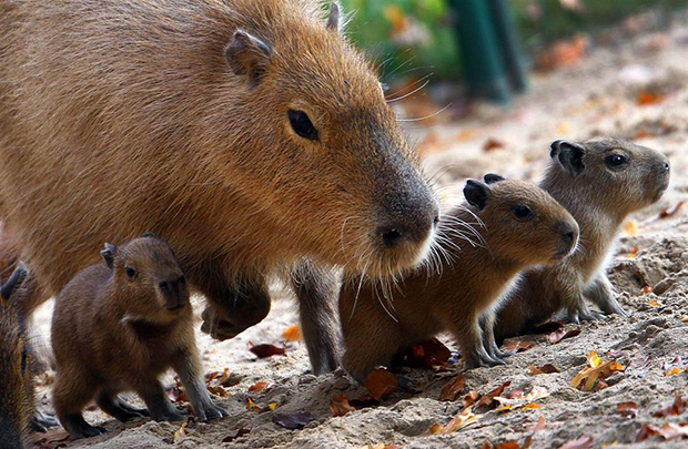 капибара с малышами