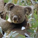20 увлекательных фактов о коалах
