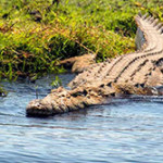 Нильский крокодил (лат. Crocodylus niloticus)